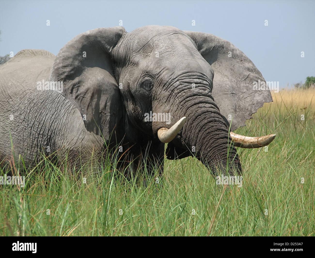 Elephant in the Okavango Delta Botswana - Stock Image