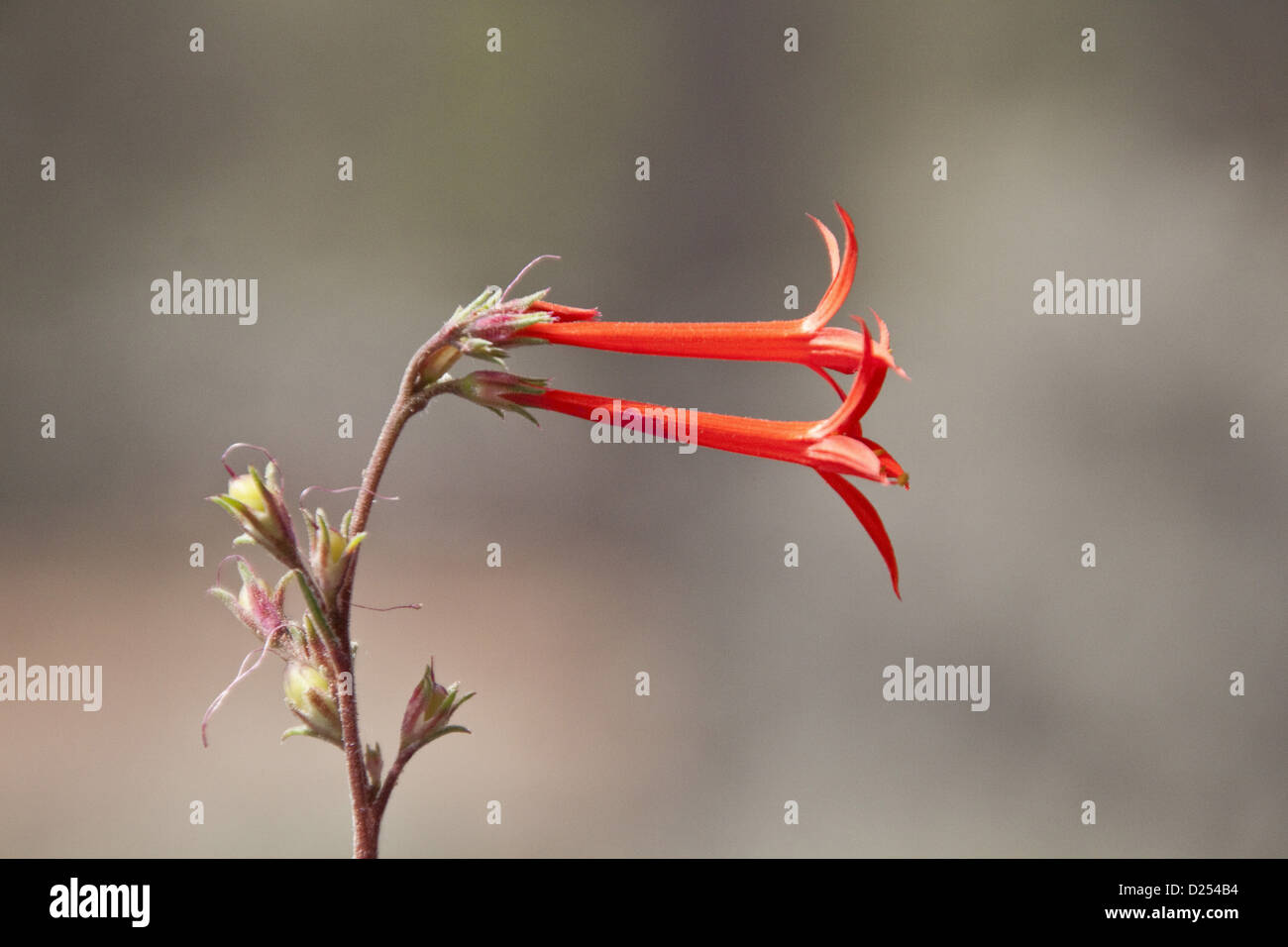 Scarlet Gilia or Skyrocket - Utah America - Stock Image