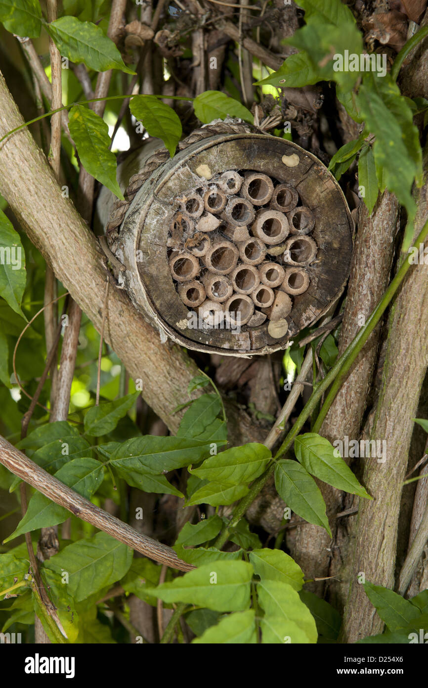 Invertebrate refuge fixed to branches, Norfolk, England, August - Stock Image
