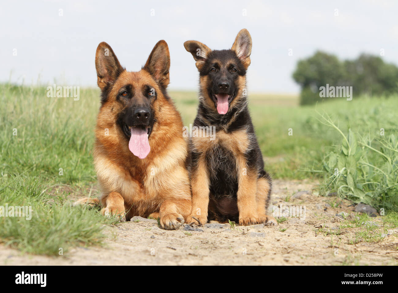 German Shepherd Puppies Mother High Resolution Stock Photography And Images Alamy