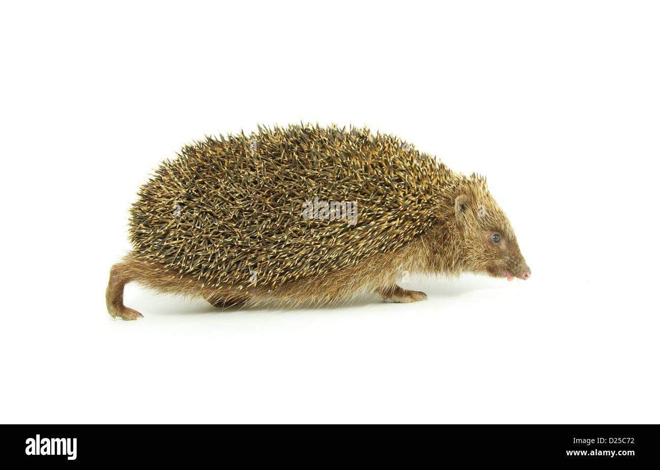 Hedgehog isolated on a white background - Stock Image