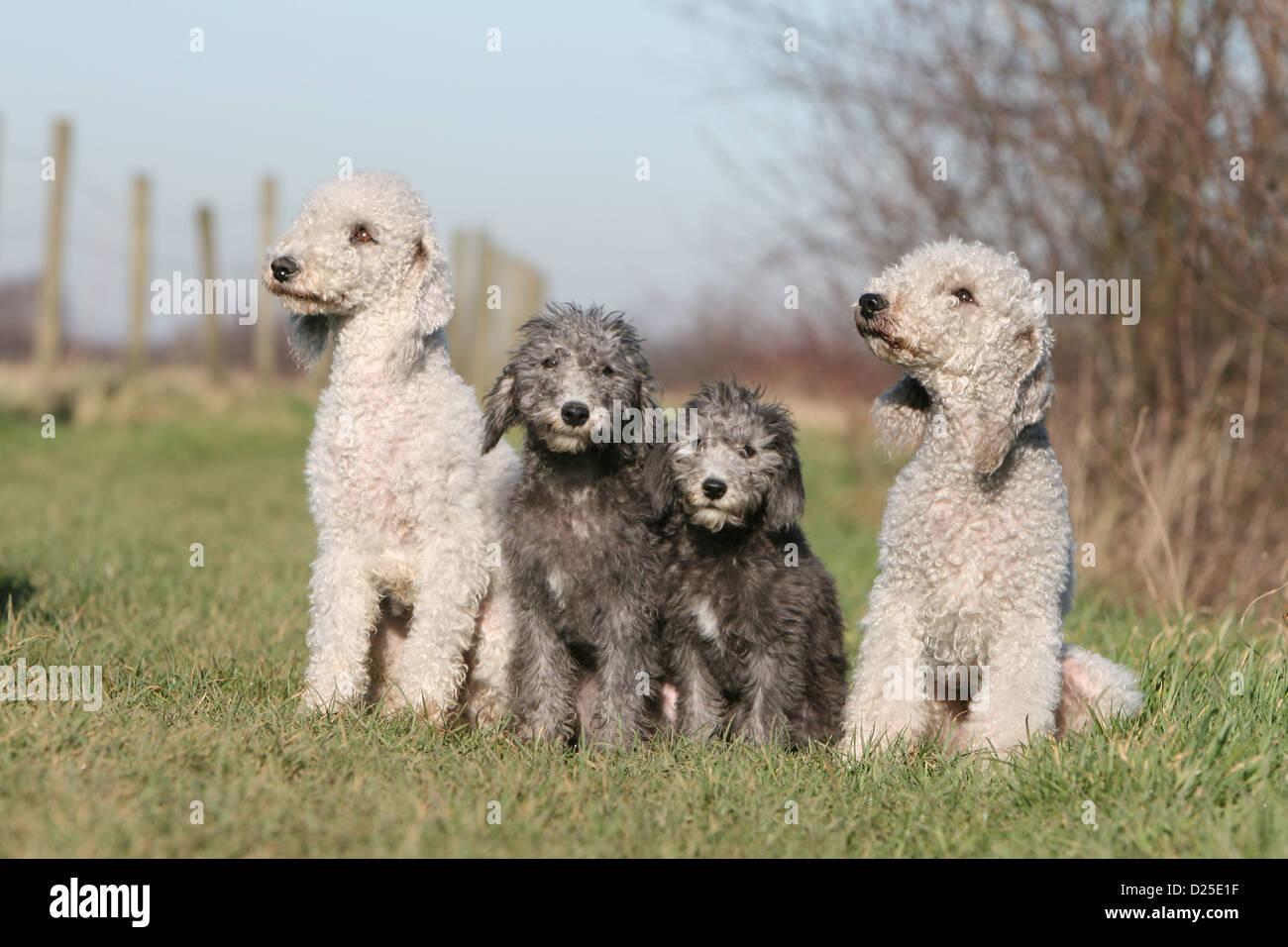 Description breed bedlington terrier. Bedlington Terrier: nature, features, photos 56