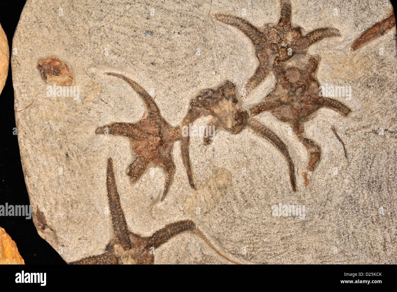 Fossil Brittle Sea Star, Ophiuroides sp., Ordovician Period - Stock Image