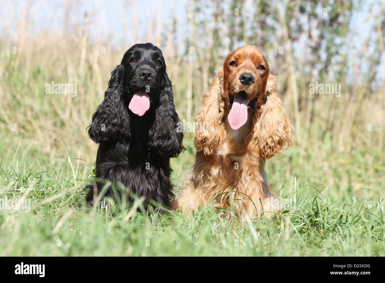 Really. adult english cocker spaniel for