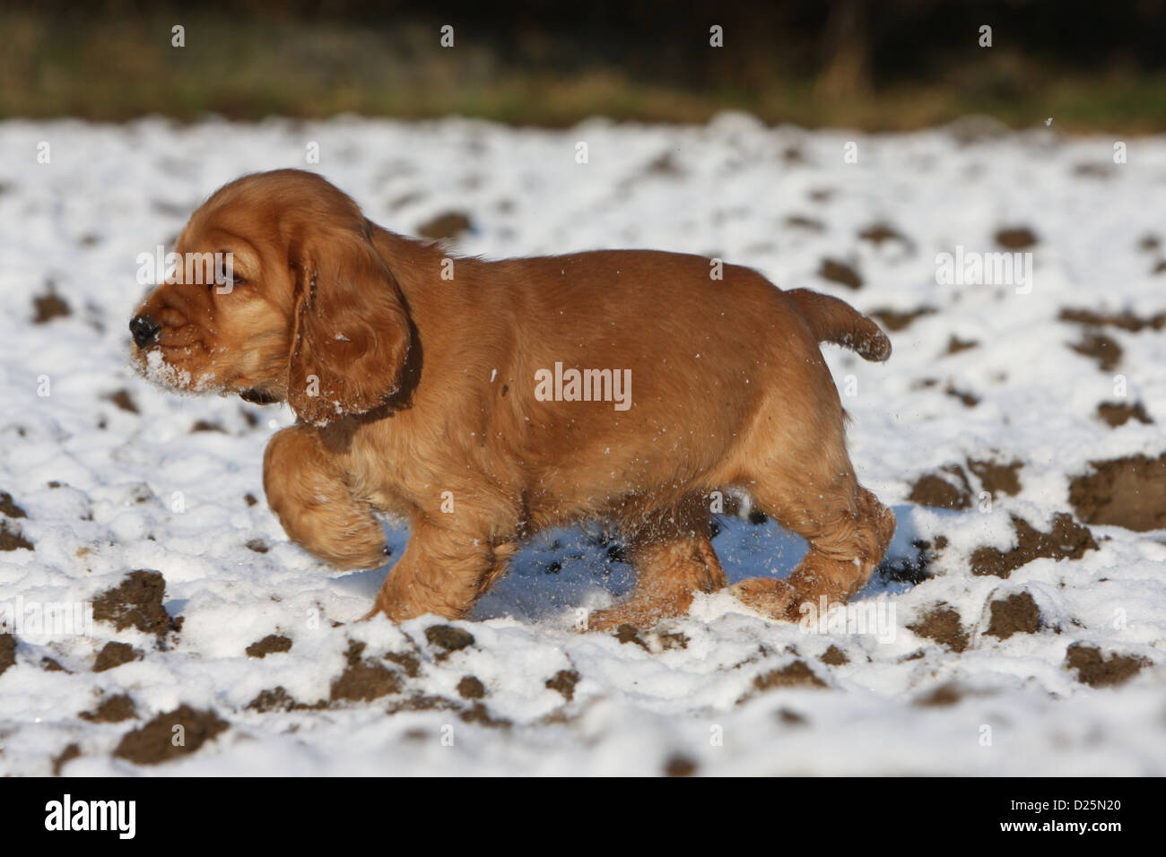 Dog English Cocker Spaniel Puppy Red Standing Paw Raised In Snow Stock Photo Alamy