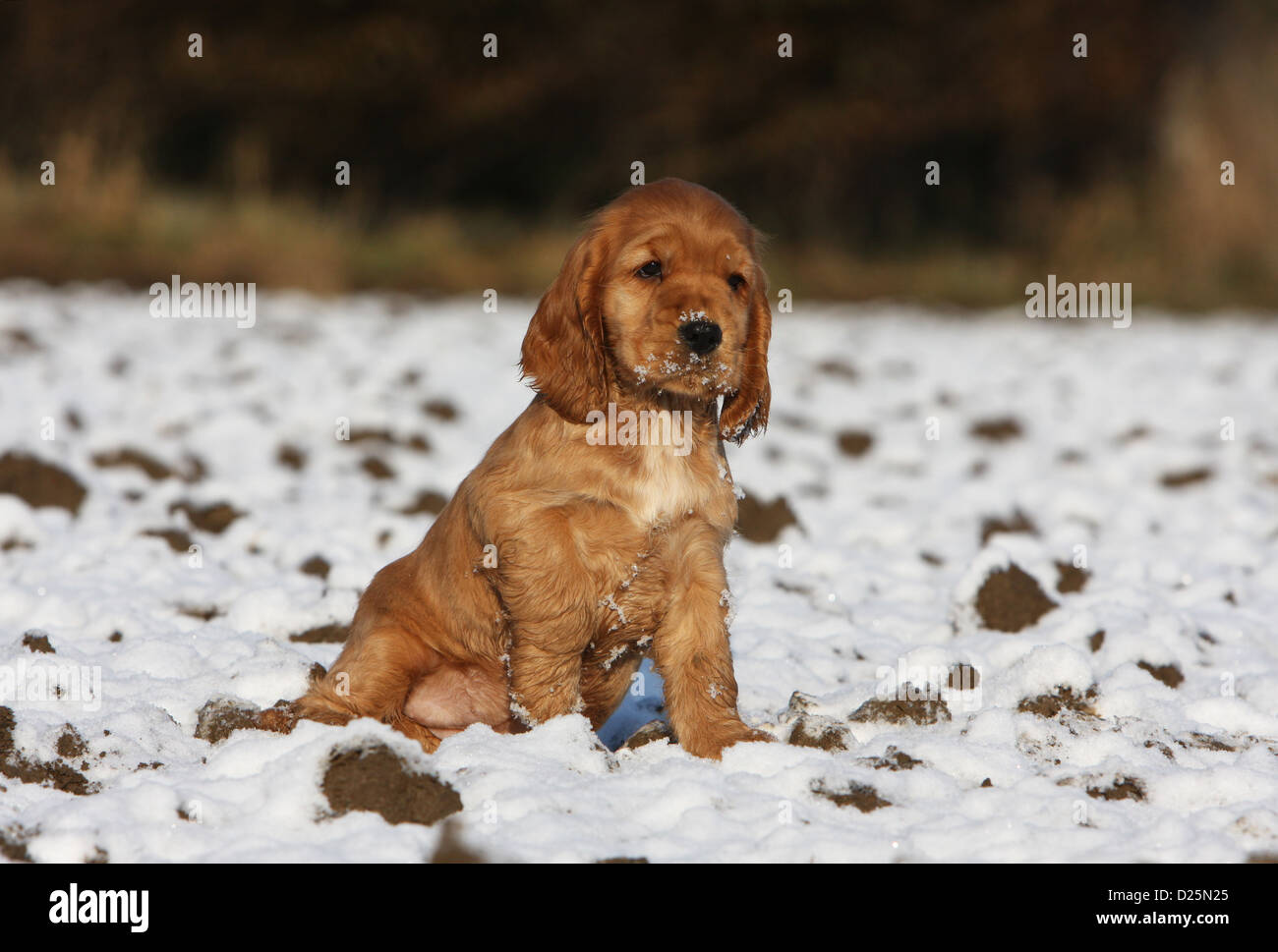 Dog English Cocker Spaniel Puppy Red Sitting In Snow Stock Photo Alamy