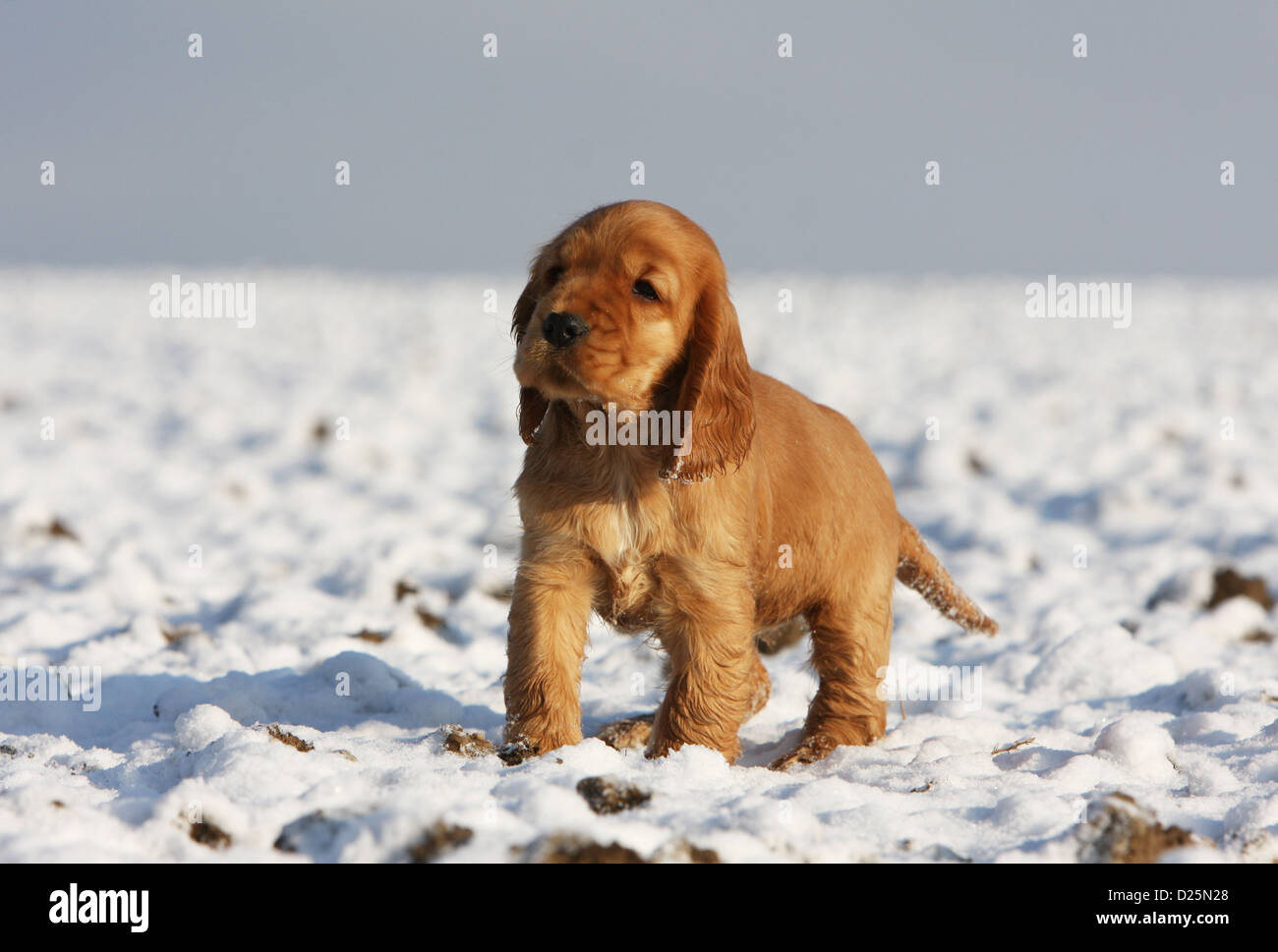 Dog English Cocker Spaniel Puppy Red Standing In Snow Stock Photo Alamy