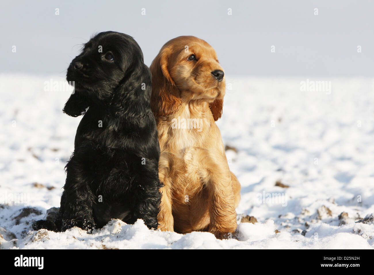 Dog English Cocker Spaniel Two Puppies Black And Red Sitting In Stock Photo Alamy