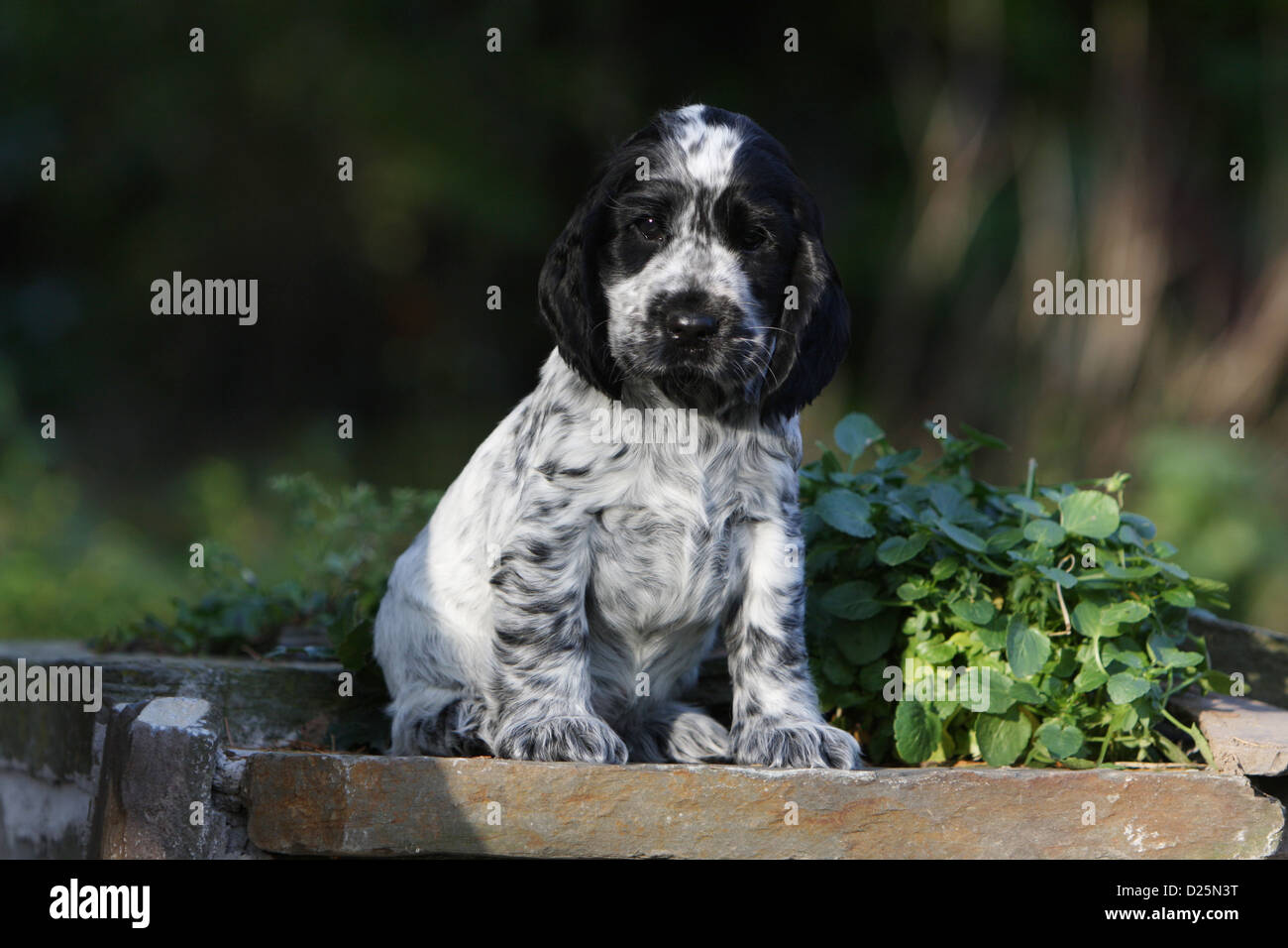 Dog English Cocker Spaniel puppy (blue roan) sitting Stock