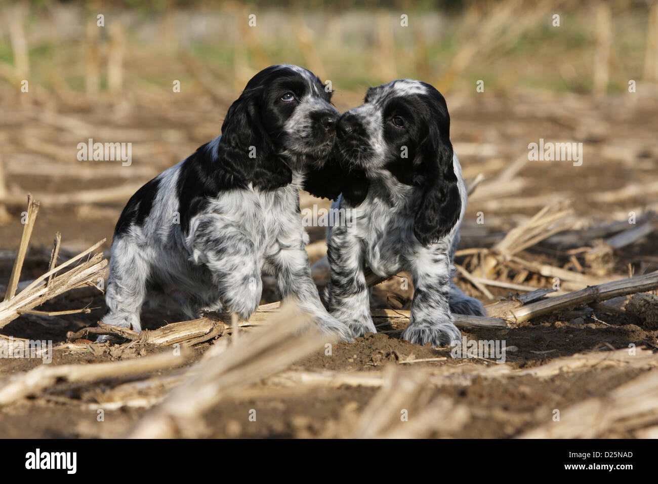 Dog English Cocker Spaniel two puppies (blue roan) in a field cuddly