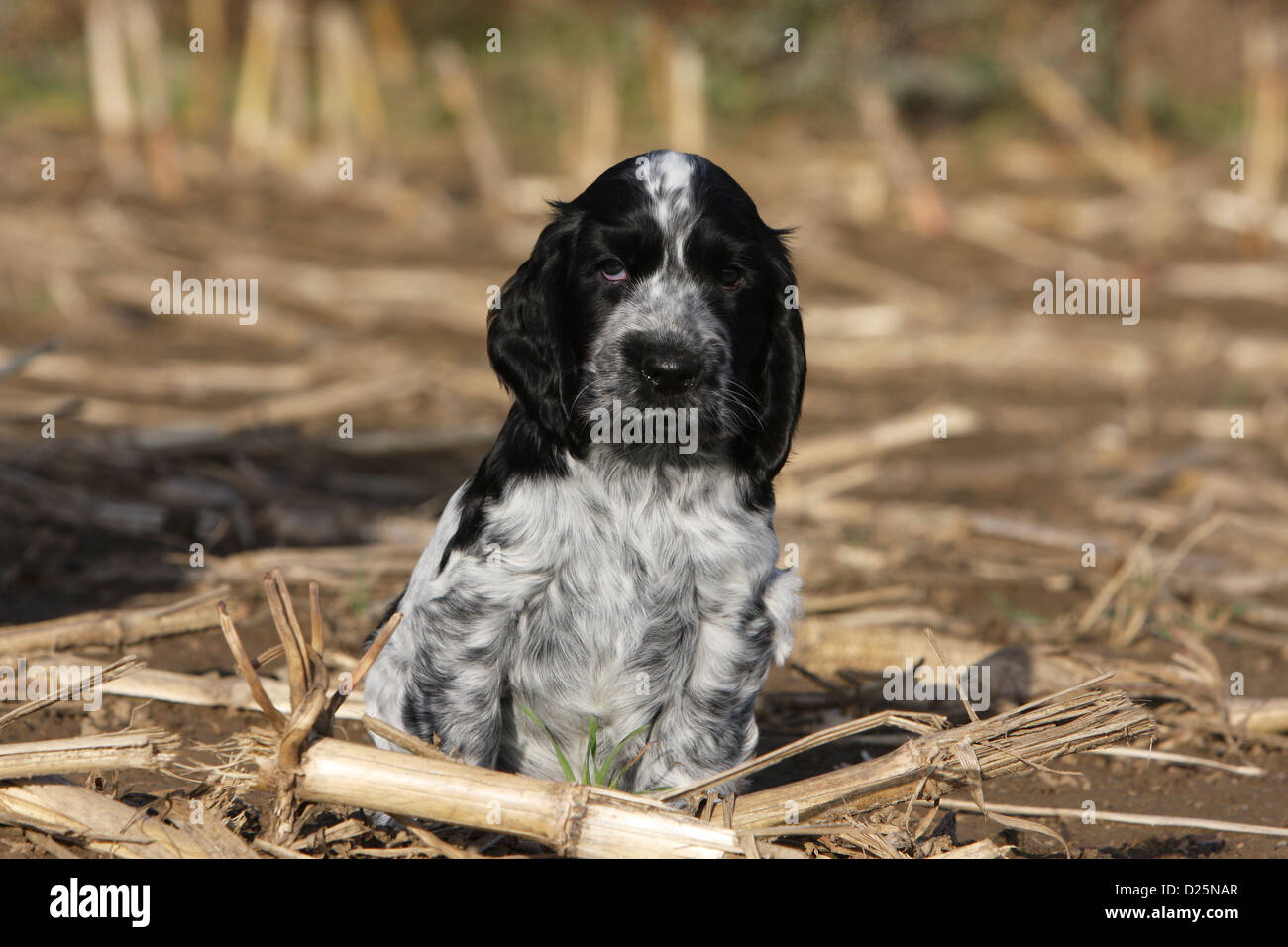Dog English Cocker Spaniel puppy (blue roan) sitting in a