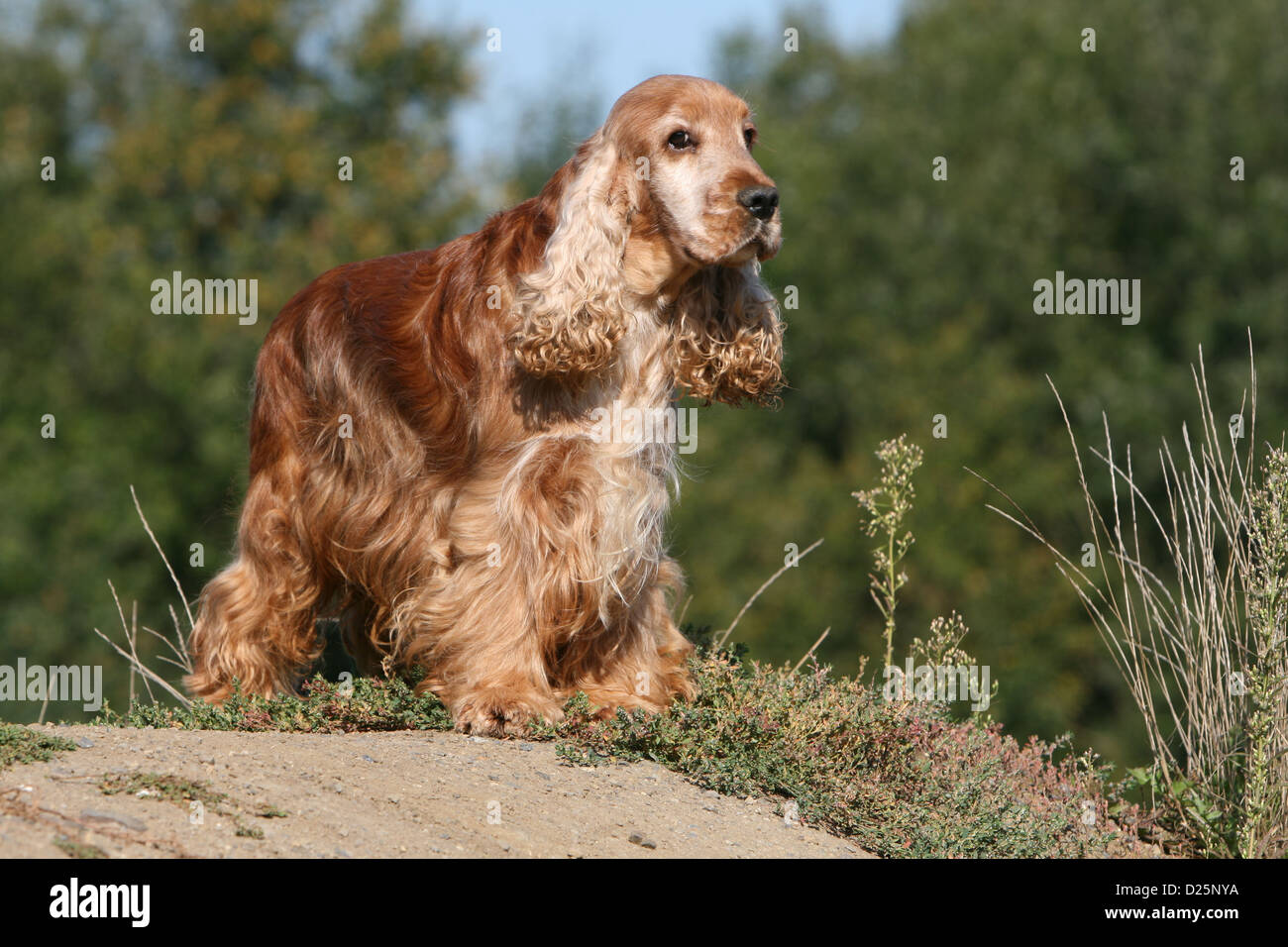 For adult english cocker spaniel consider