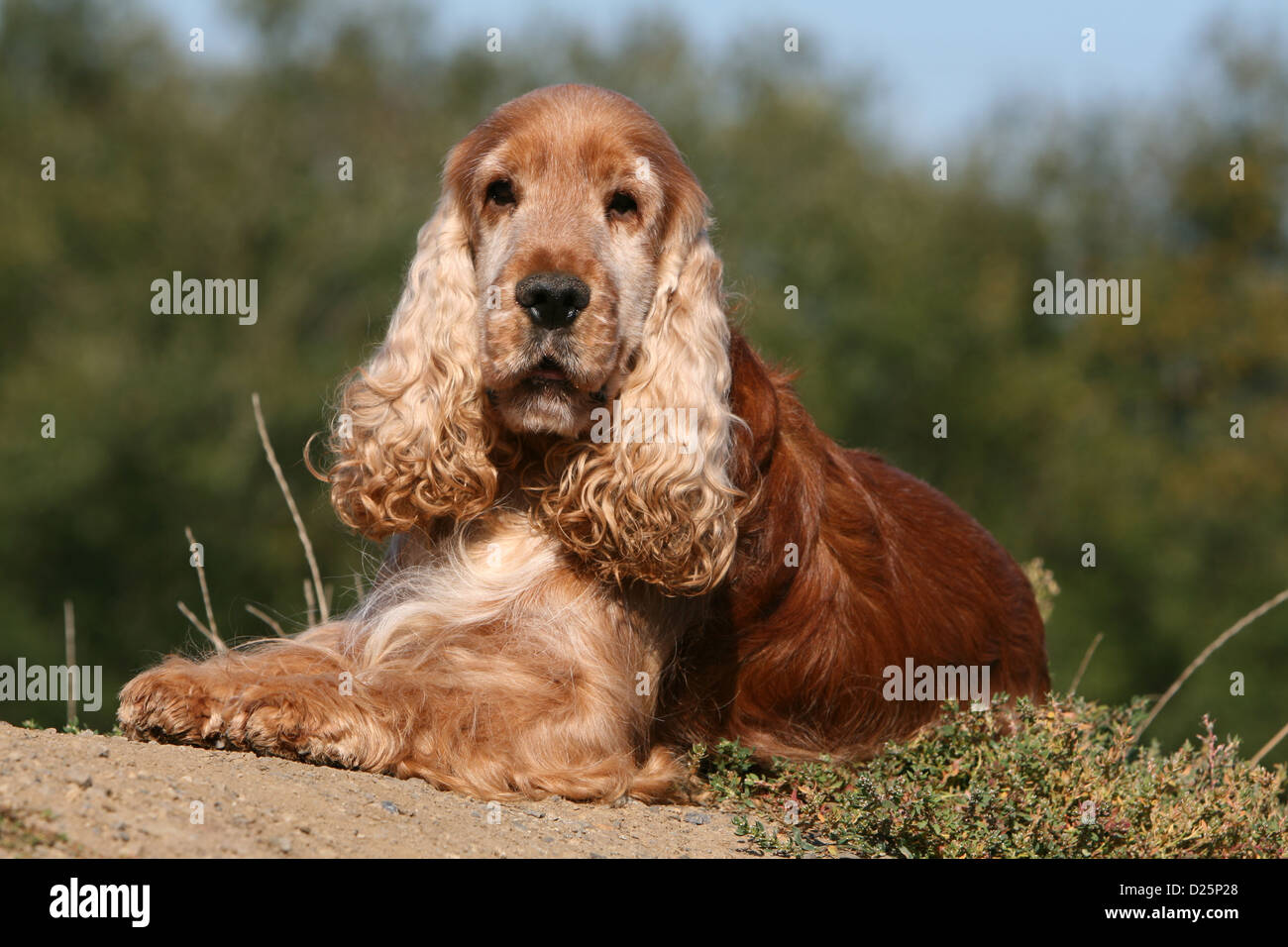 Adult english cocker spaniel