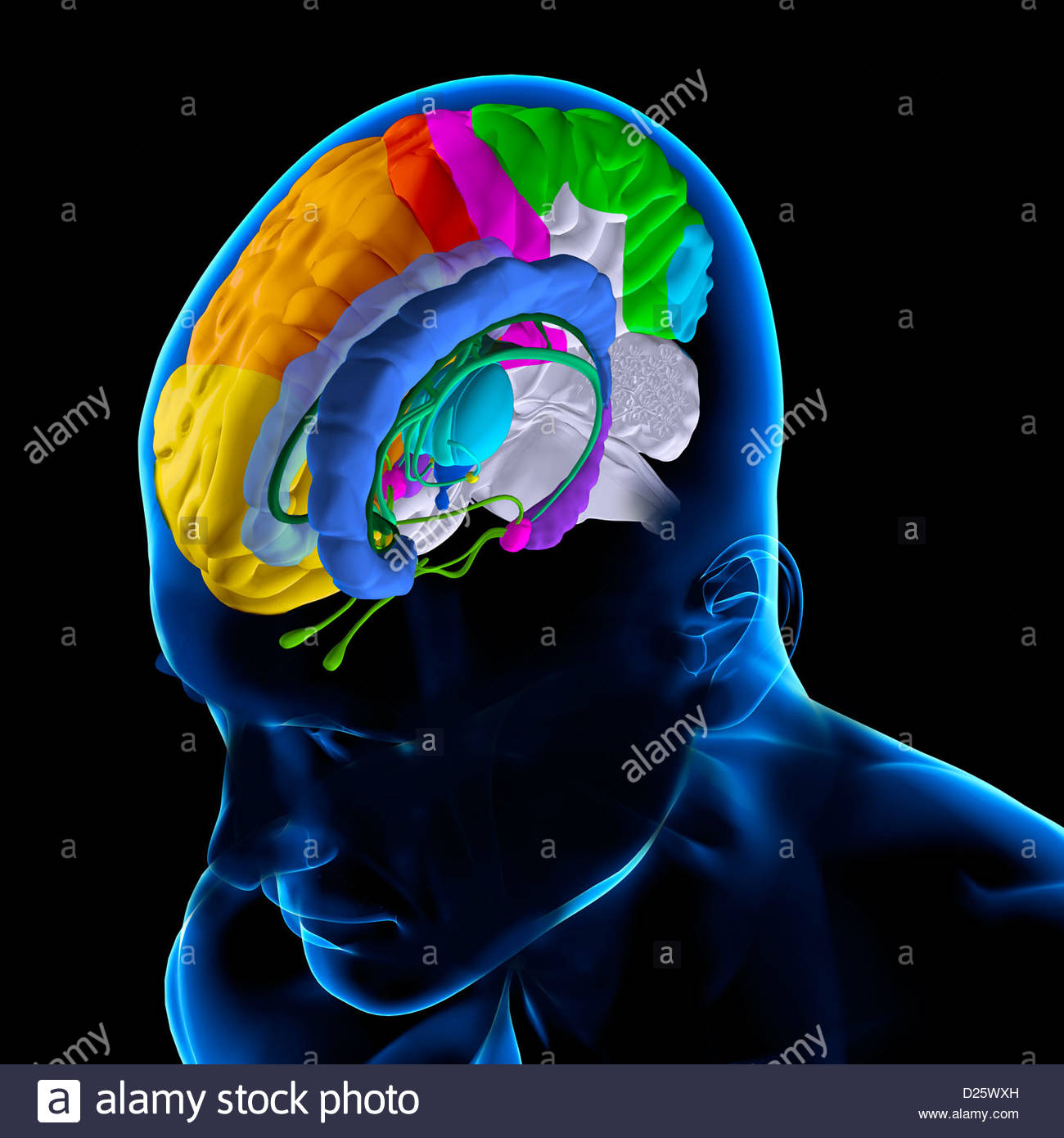 ANATOMY OF THE BRAIN Stock Photo: 52990521 - Alamy