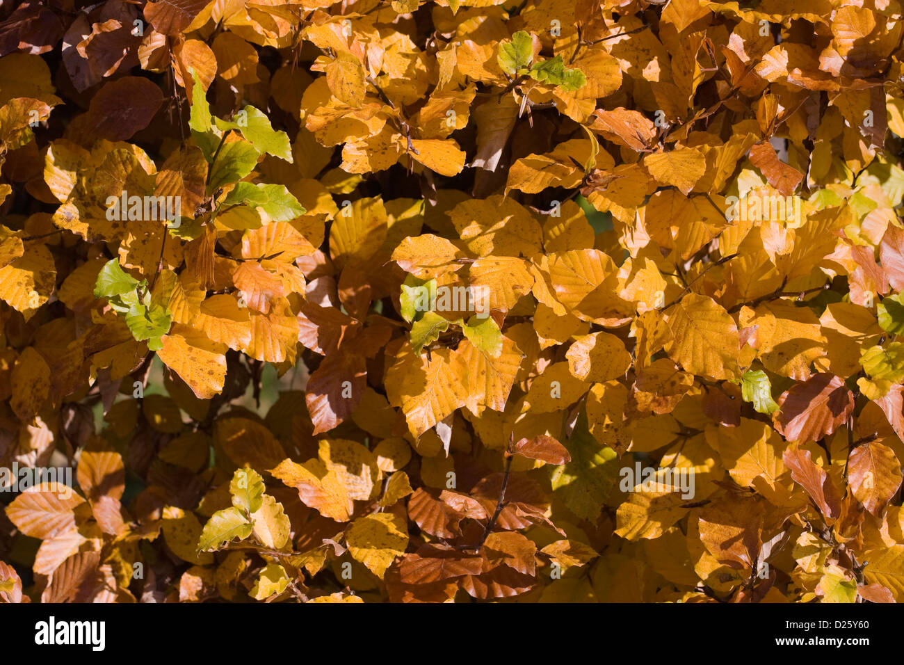 Fagus sylvatica in Autumn. Common Beech hedging. - Stock Image