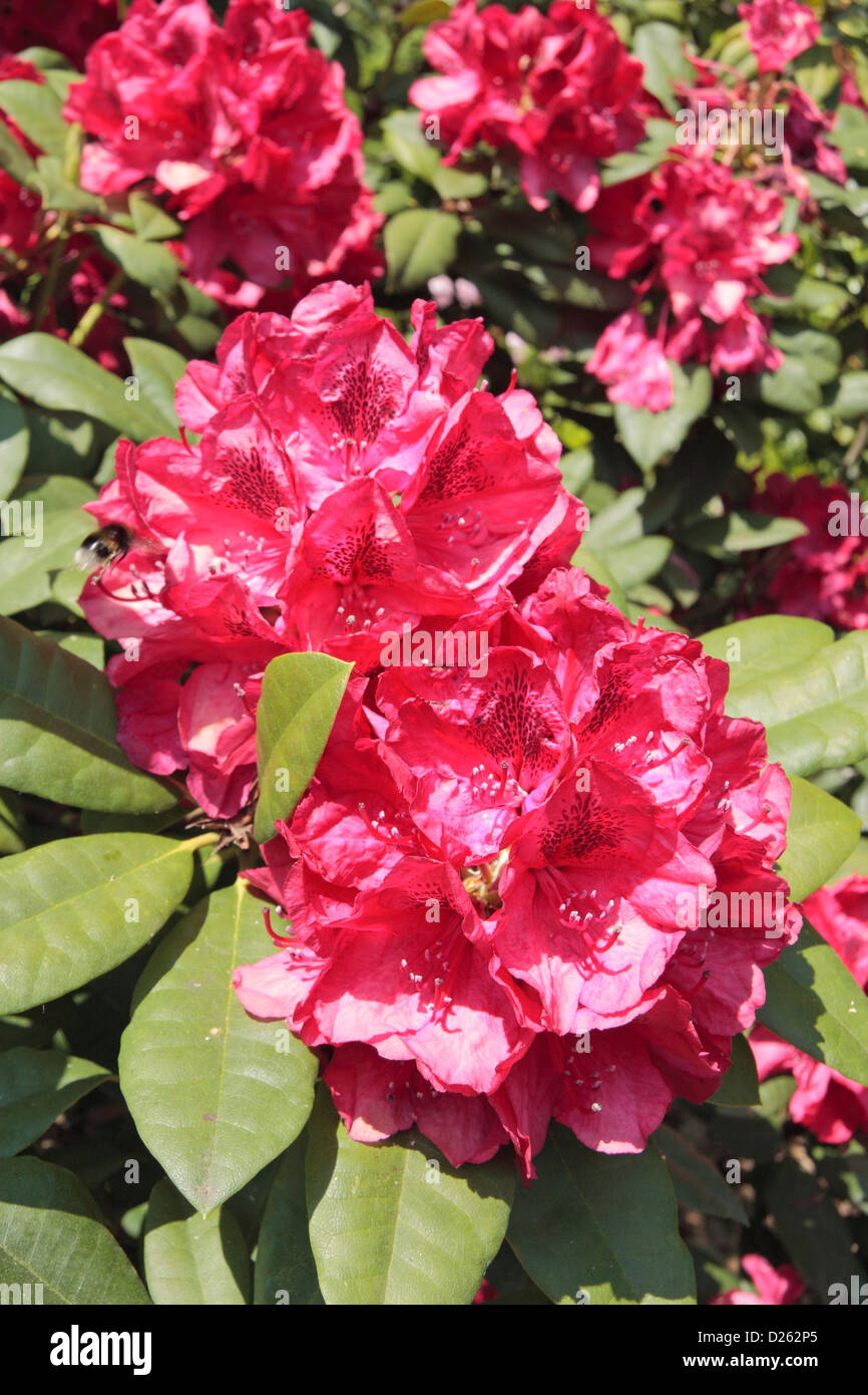 Close up of a 'Lord Roberts' (a hybrid) rhododendron in the Azalea Garden in The Royal Botanic Gardens, - Stock Image