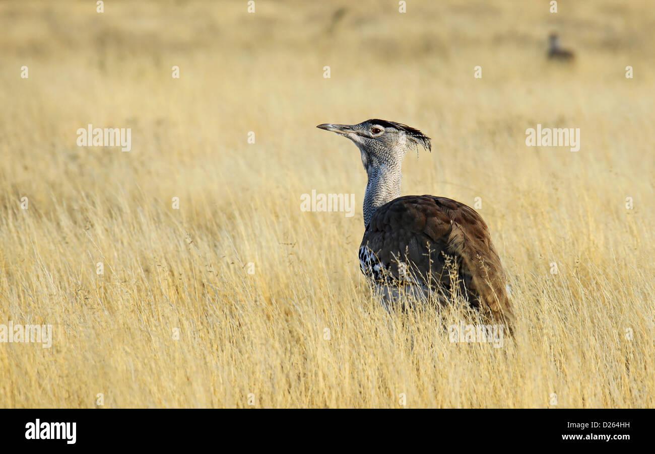 Ardeotis kori, Kori bustard, Central Kalahari Game Reserve, Botsuana - Stock Image