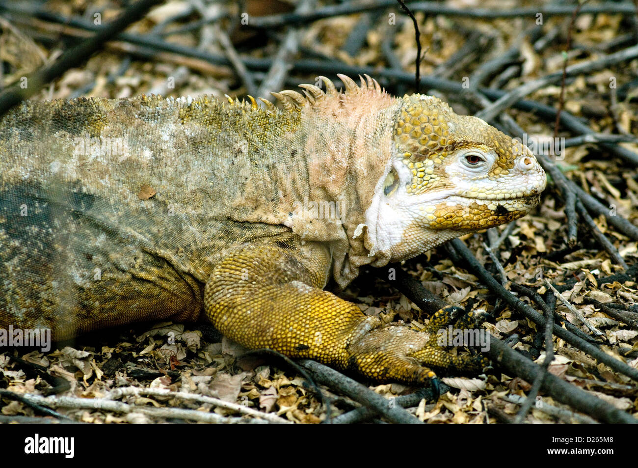 A nesting Galapagos land iguana, monster lizard endemic to the fantastical islands, appears to be sloughing its - Stock Image