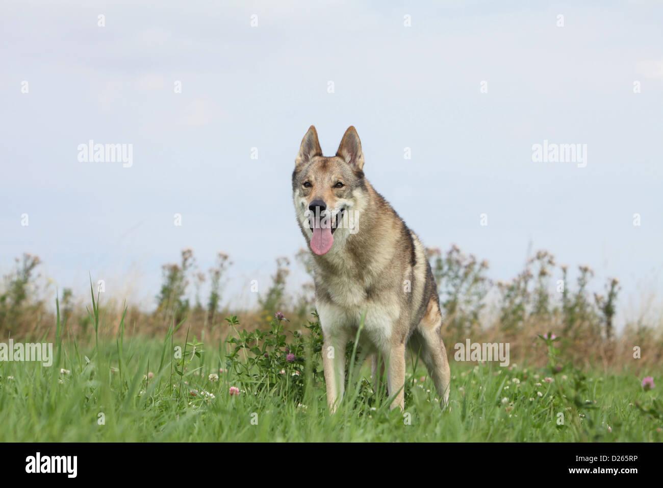 Dog Czechoslovakian wolfdog / Tschechoslowakischer Wolfhund adult standing - Stock Image