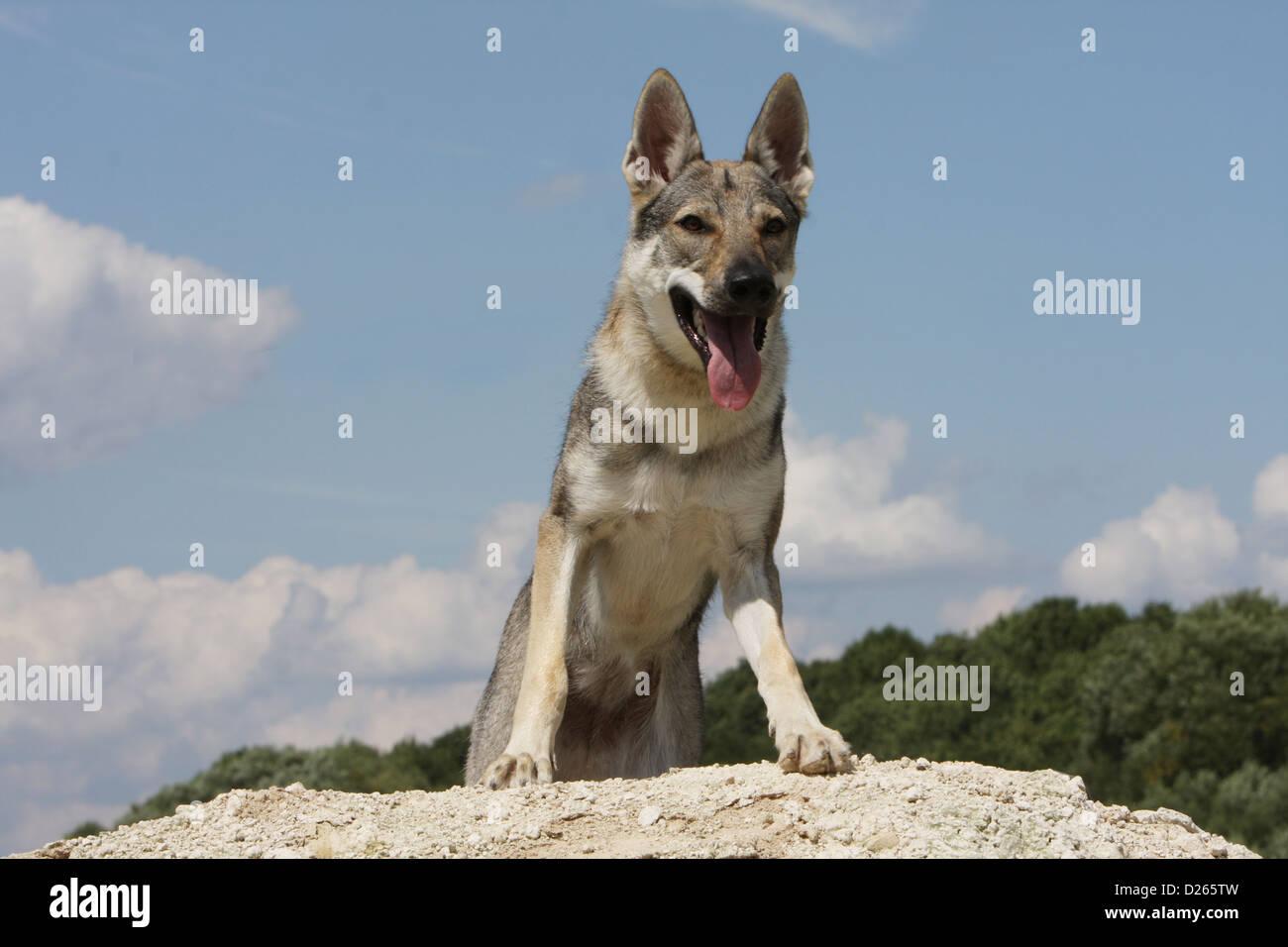 Dog Czechoslovakian wolfdog / Tschechoslowakischer Wolfhund young standing - Stock Image