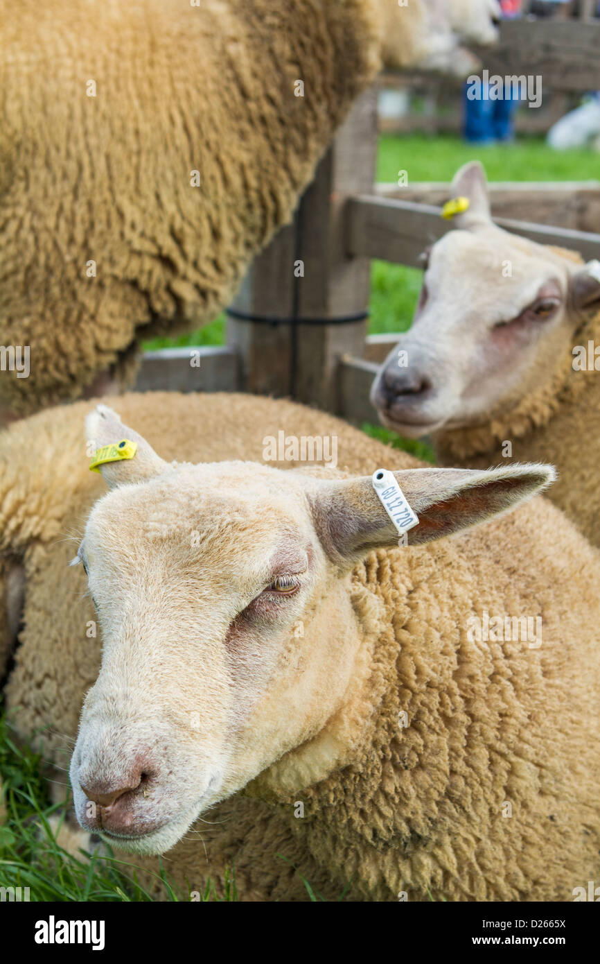 Cheviot sheep on display at the Northumberland County Show in Corbridge, Northumberland, England - Stock Image