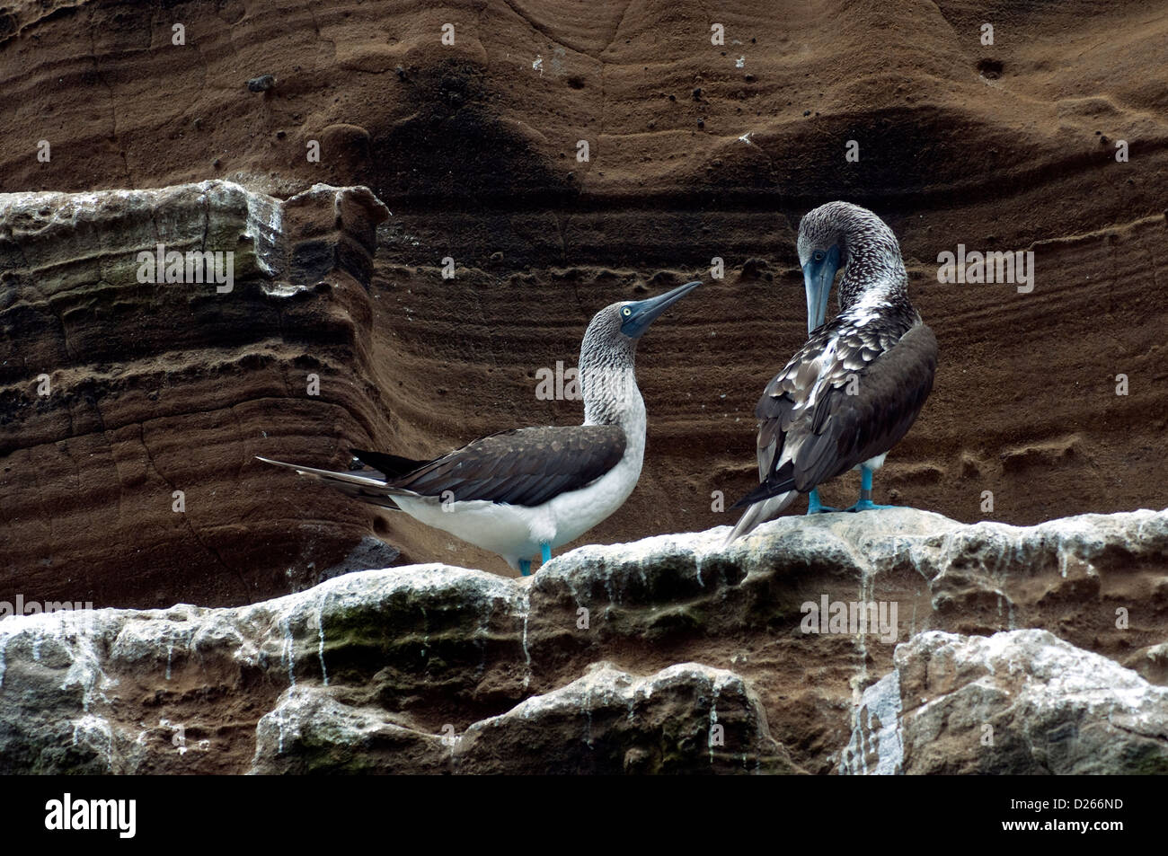 Visibly interacting, two Galapagos blue-footed boobies are populous and popular, nesting on flat surfaces, often - Stock Image