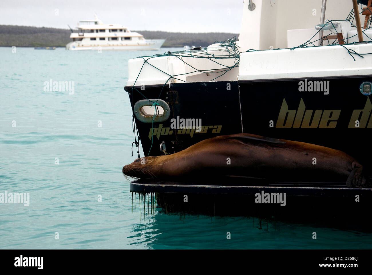 A relaxed Galapagos sea lion stretched out aft of a boat moored among others in the Puerto Ayora harbour, Santa - Stock Image