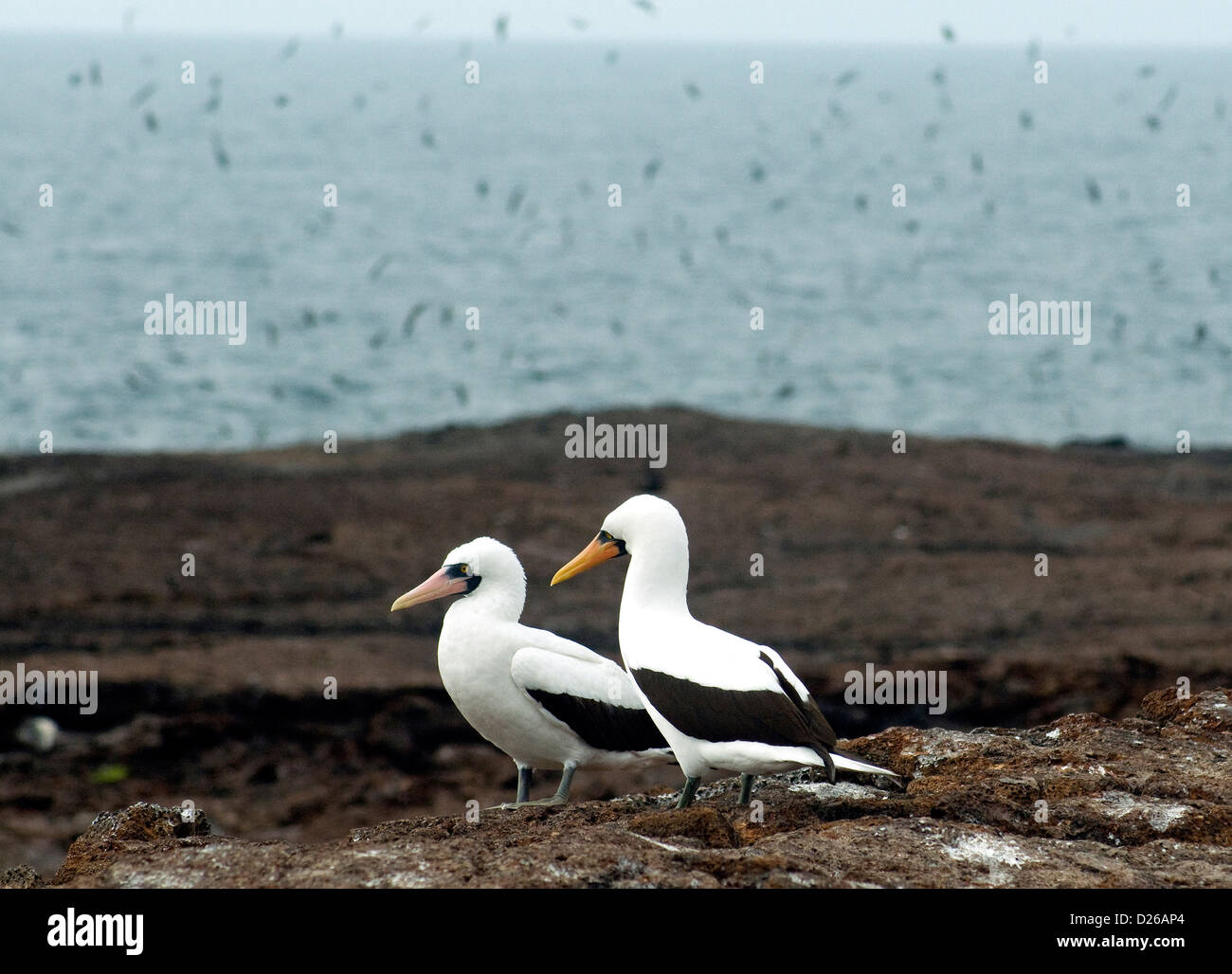 A pair of Nazca, or masked, boobies, on a plateau of Genovesa island in the Galapagos where flocks of seabirds fill - Stock Image