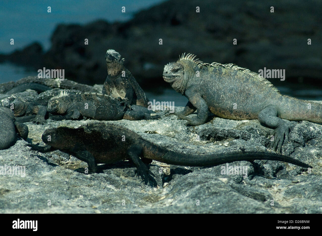 Marine iguanas of various sizes and colours enjoy sea and shore life in the protected Galapagos islands - Stock Image