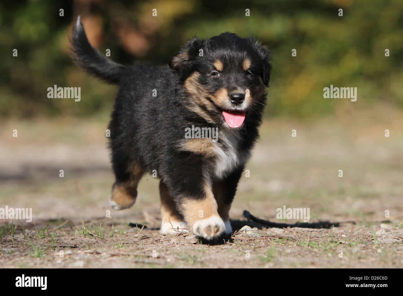 Dog Australian Shepherd Aussie Puppy Tricolor Black Running Stock Photo Alamy