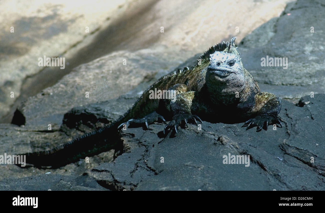 Could it be 'hello, mum'?  The bizarre-looking marine iguana seems to be sheltering a tiny infant behind - Stock Image