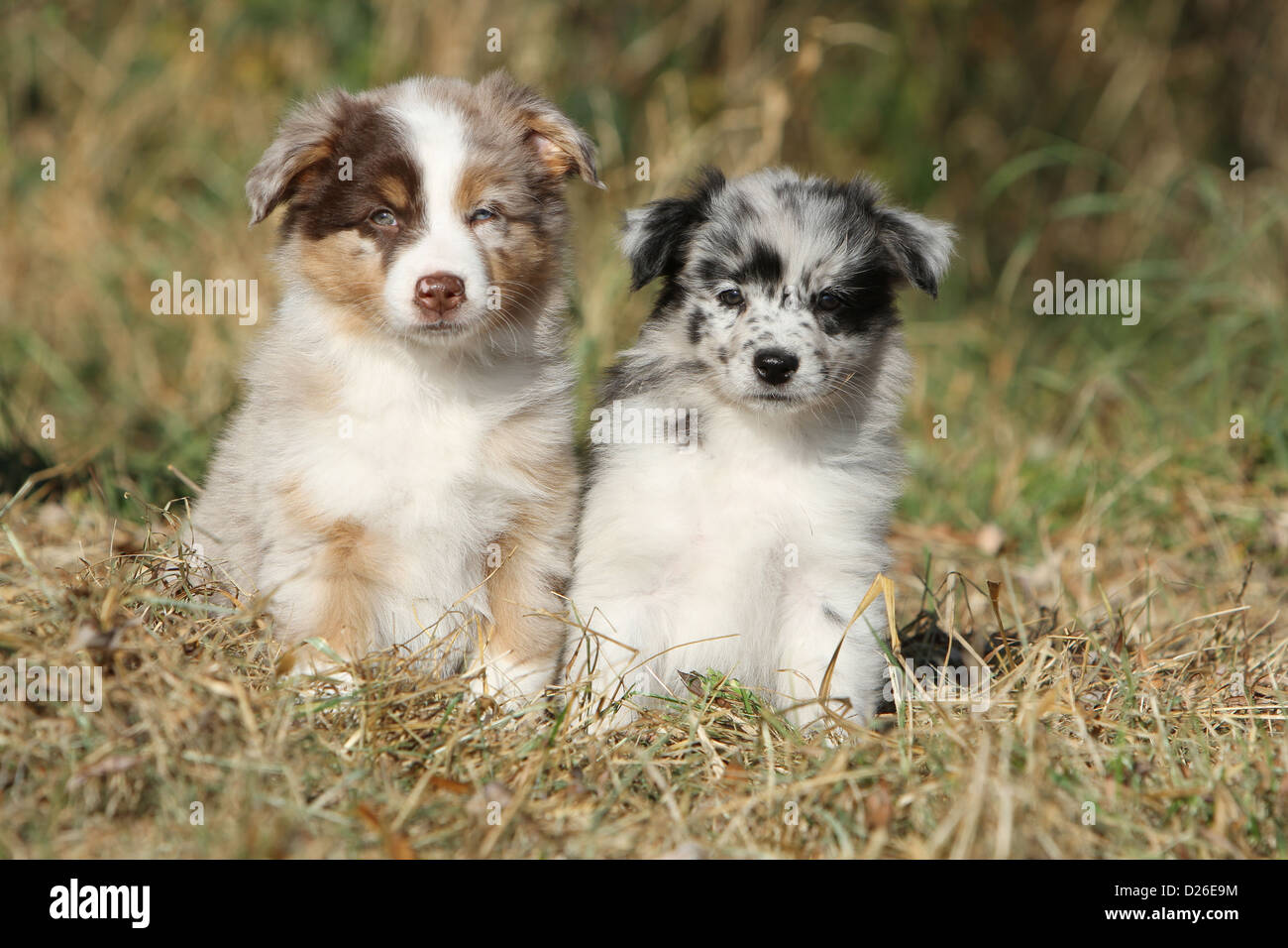 dog australian shepherd aussie two puppies different colors red stock photo 53003376 alamy. Black Bedroom Furniture Sets. Home Design Ideas