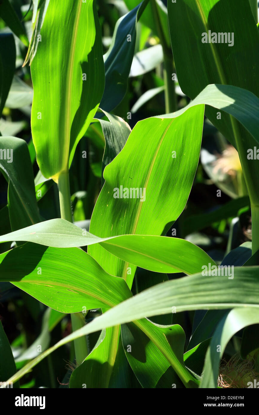 Sunlight shines through corn leaves - Stock Image