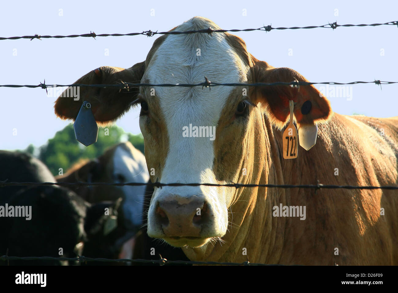 Cow stares through barbwire fence - Stock Image