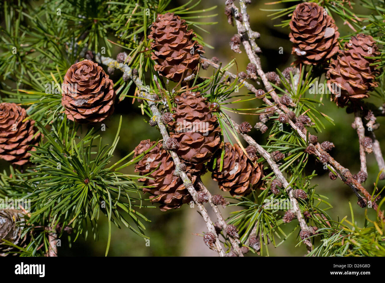 Pinecones  in conifer tree branch - Stock Image