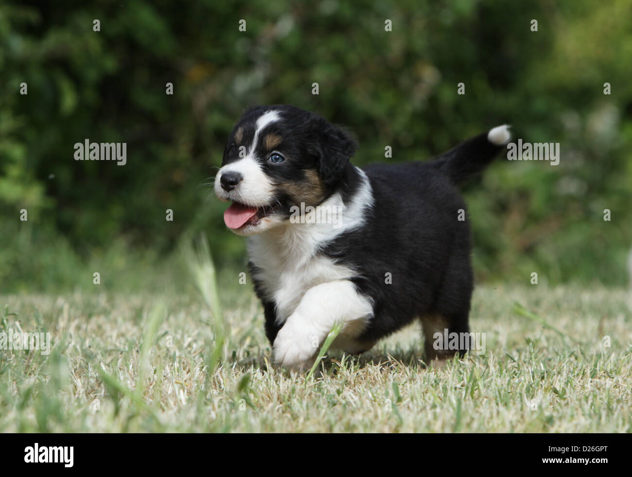 Dog Australian Shepherd Aussie Puppy Tricolor Black Walking In A Stock Photo Alamy