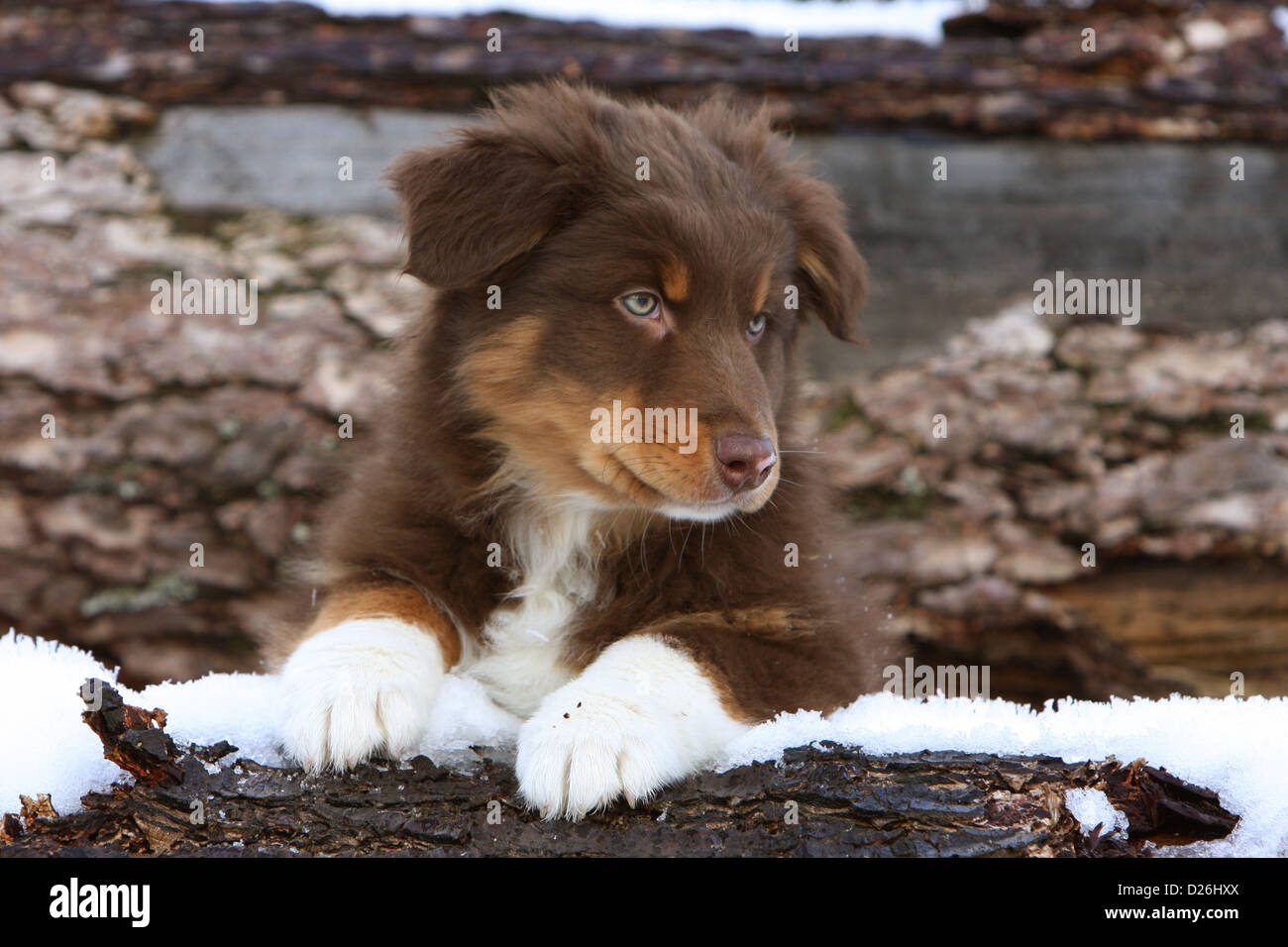 Dog Australian Shepherd Aussie Puppy Red Tricolor Lying In Snow Stock Photo Alamy