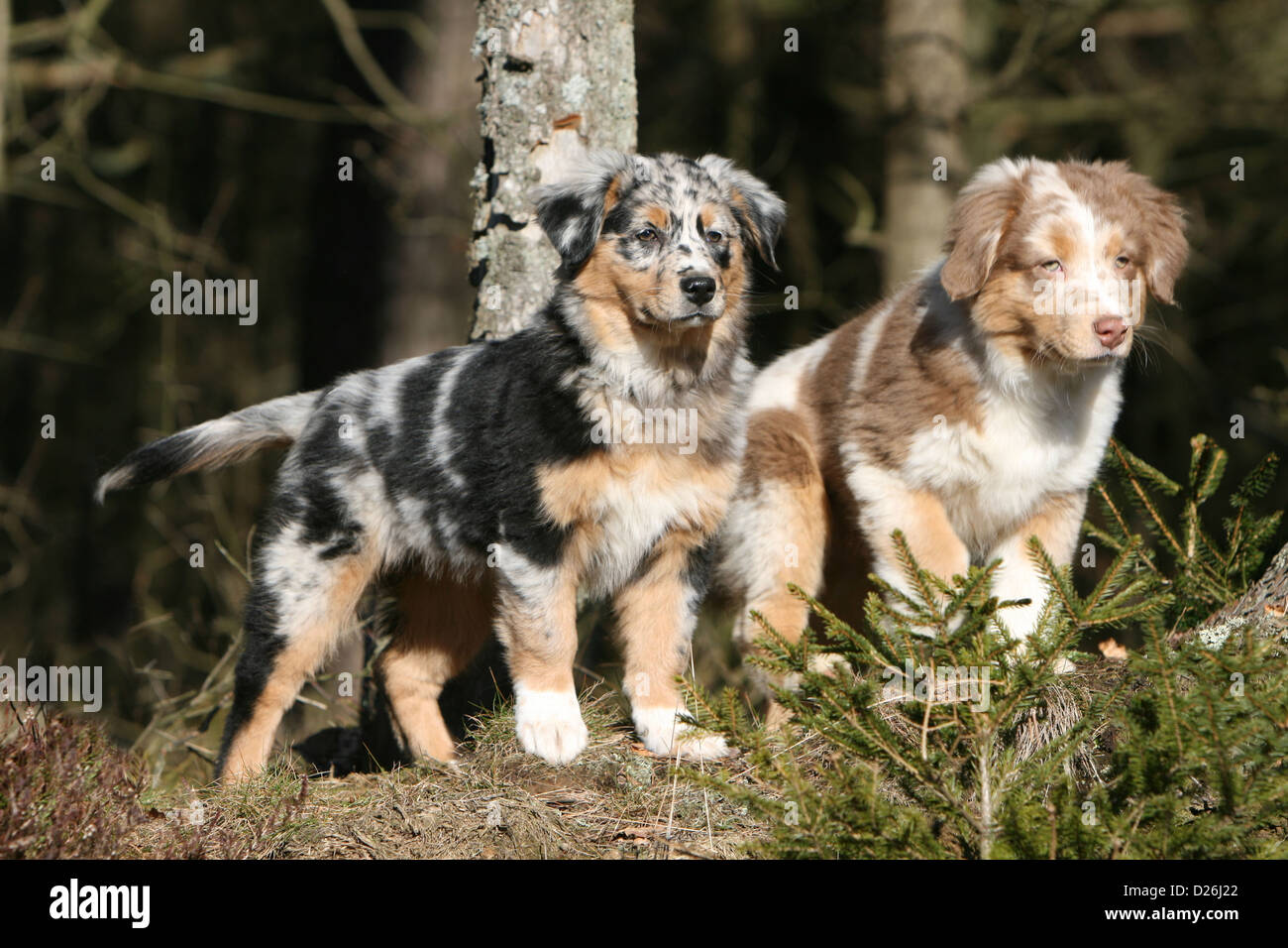 Blue Merle Australian Shepherd Puppies High Resolution Stock Photography And Images Alamy