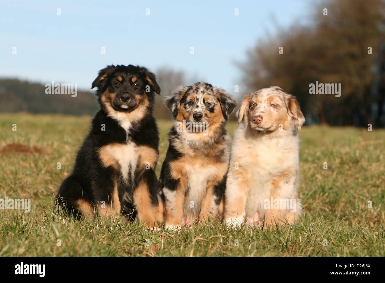 Dog Australian Shepherd Aussie Two Puppies Different Colors Stock Photo Alamy