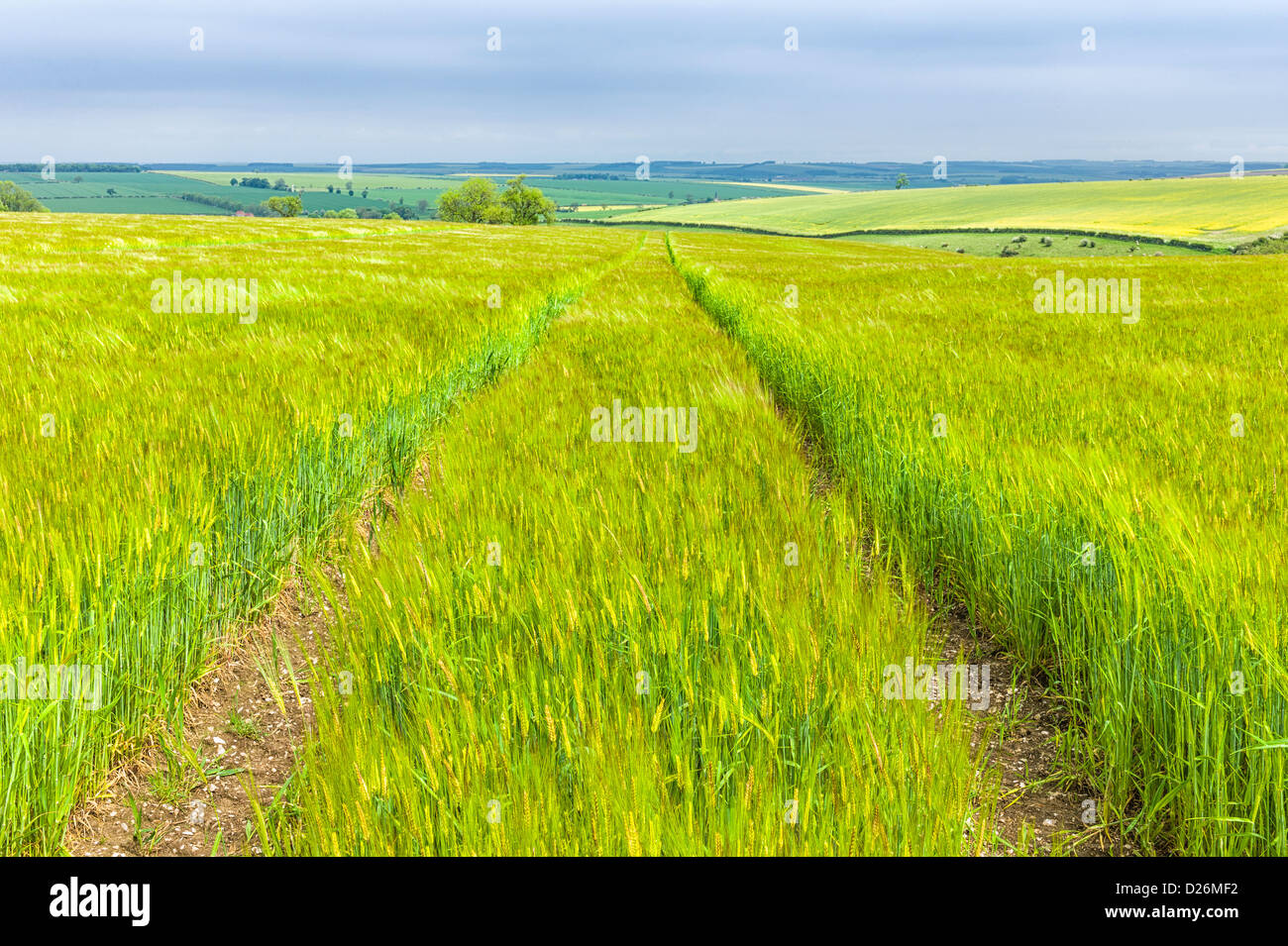 Wheat field in spring time in the Yorkshire Wolds near the town of Beverley, Yorkshire, UK. It is a bright sunny - Stock Image