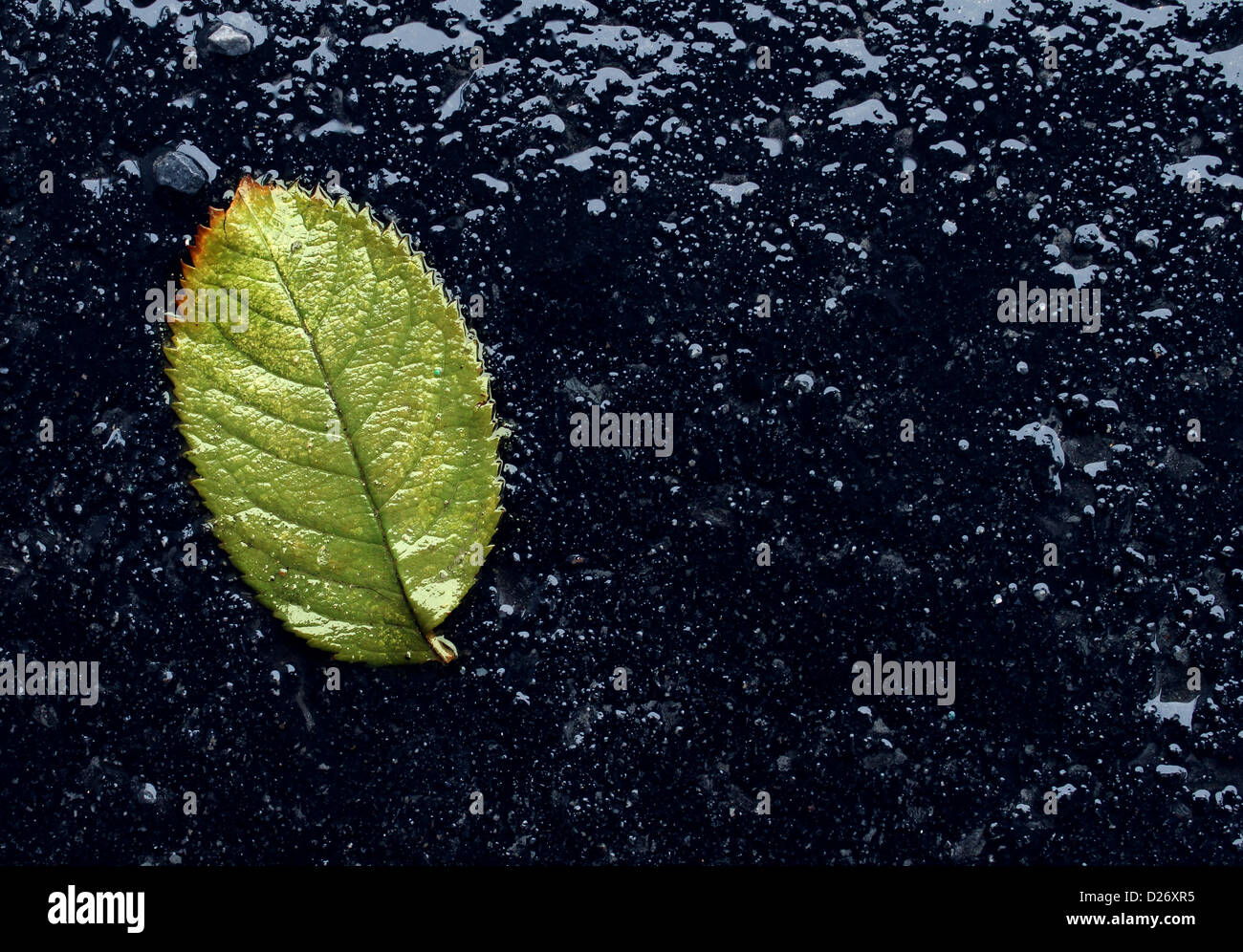 Wet single fallen green leaf on black asphalt as a symbol of renewal and hope after winter or before spring season Stock Photo