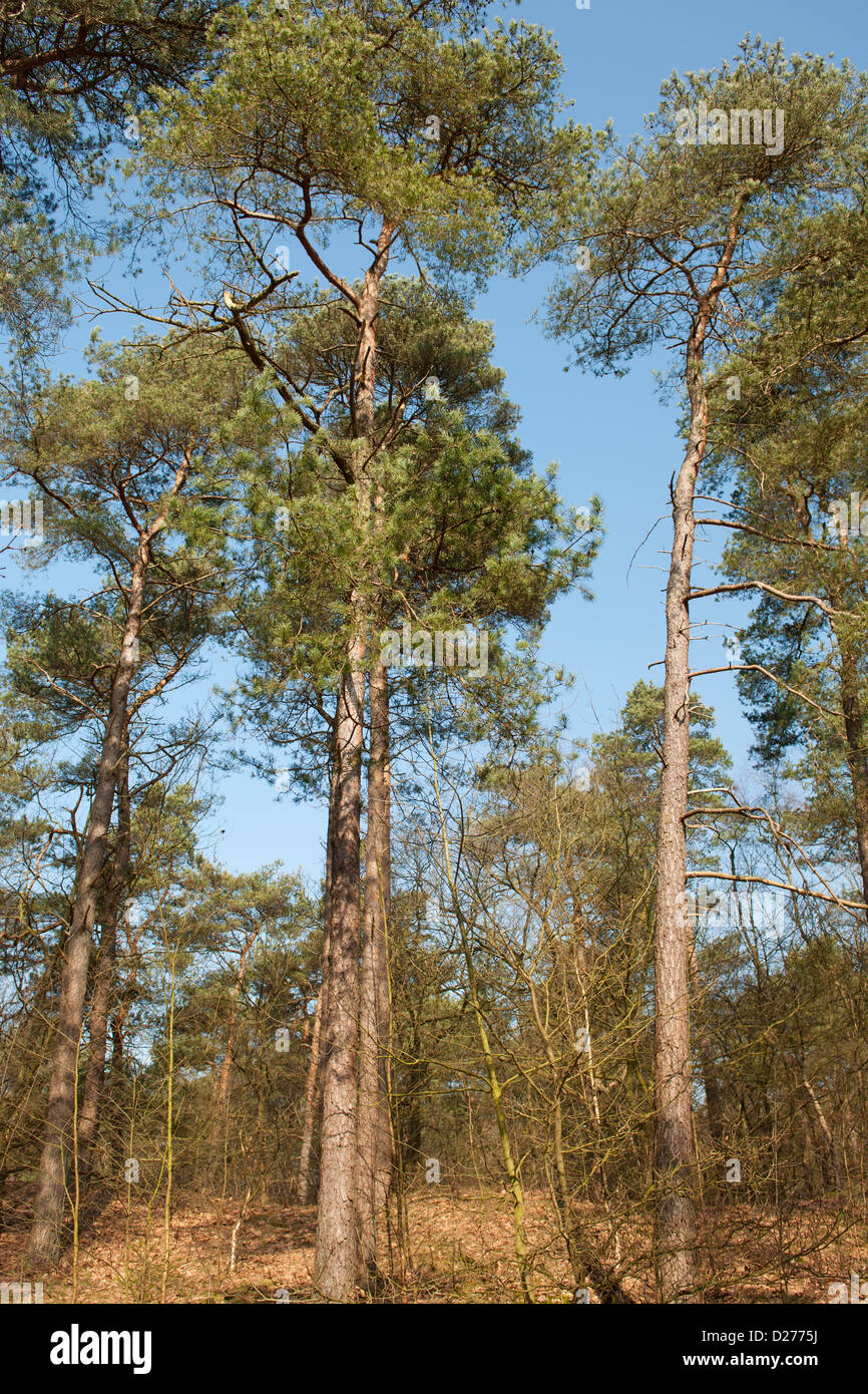 Forest with Conifers at the Dutch Veluwe - Stock Image