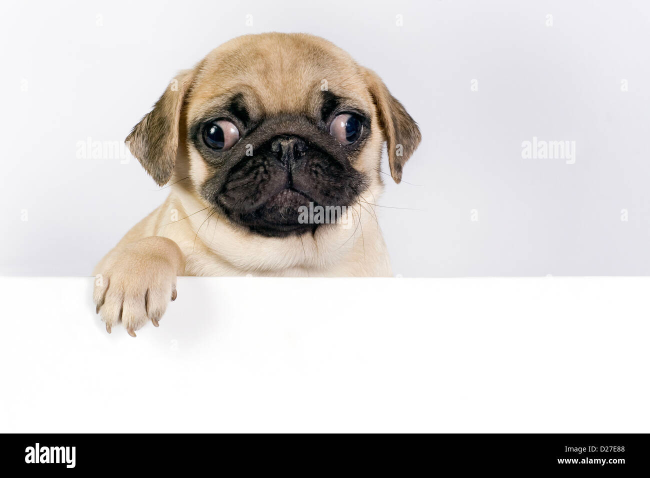 Cute Pug puppy on white background with space for text. - Stock Image