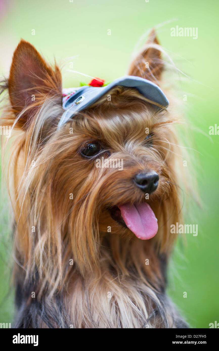Portrait of a Yorkshire terrier in a cap close up - Stock Image