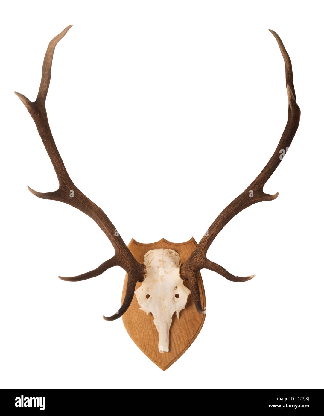 Scottish, Red Deer stags' head and antlers; mounted on an oak wooden shield. - Stock Image