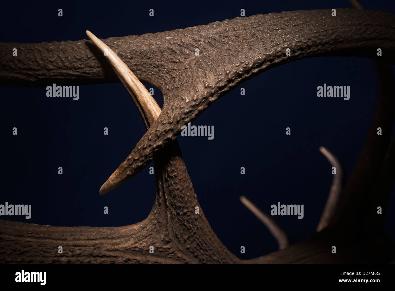 Clash of antlers. Stags lock horns in battle. - Stock Image