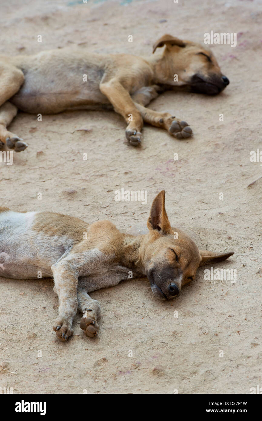 Two very thin undernourished puppies sleeping on the floor in a rural indian village. India - Stock Image