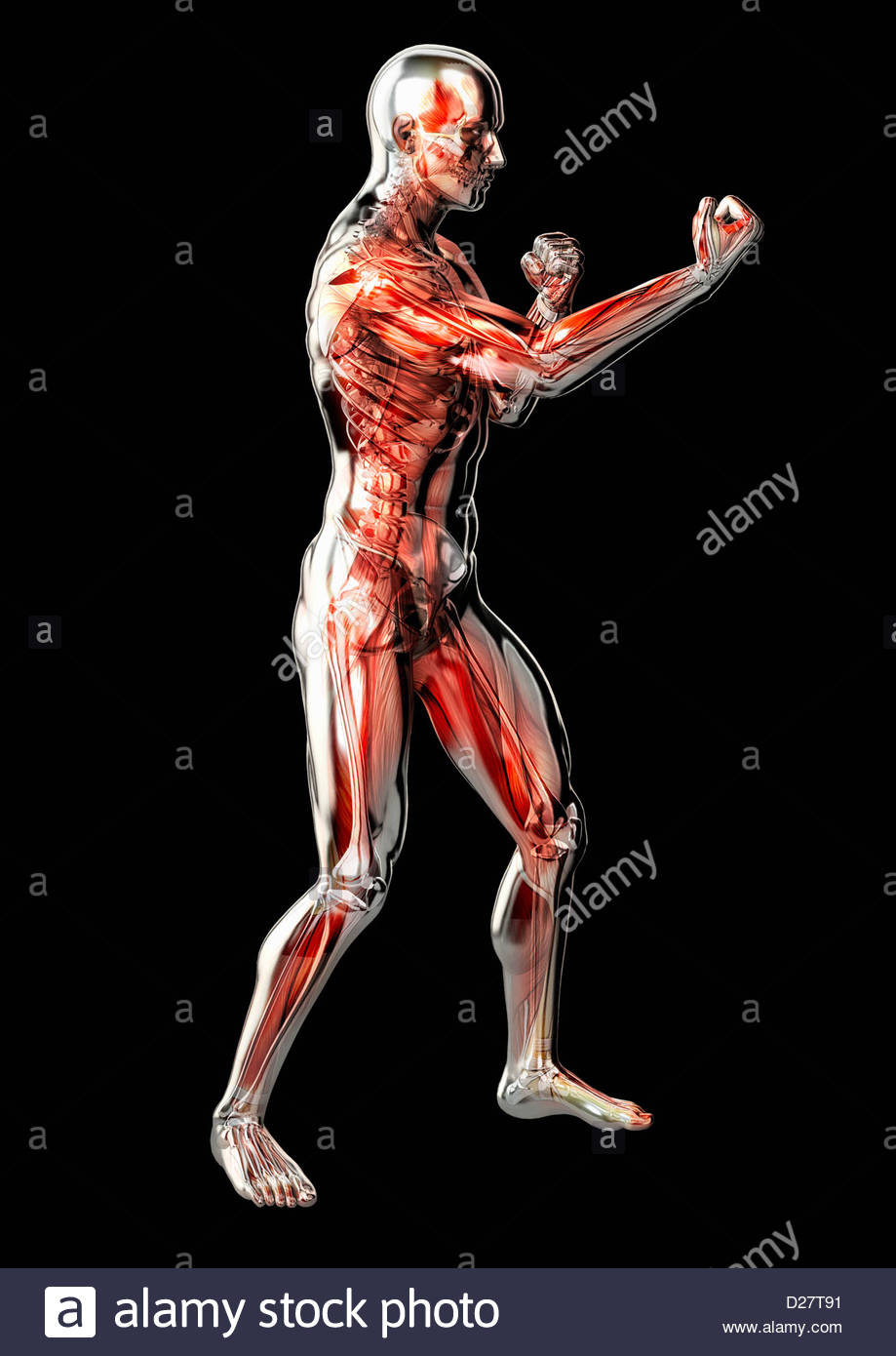 Male anatomical model in fighting stance on black background - Stock Image