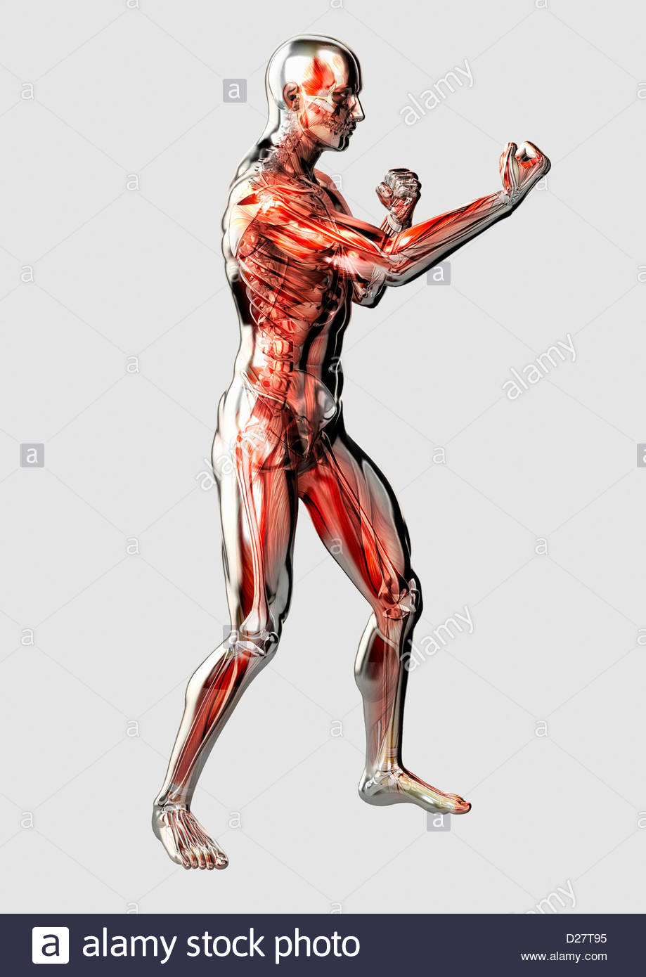 Male anatomical model in fighting stance on white background - Stock Image