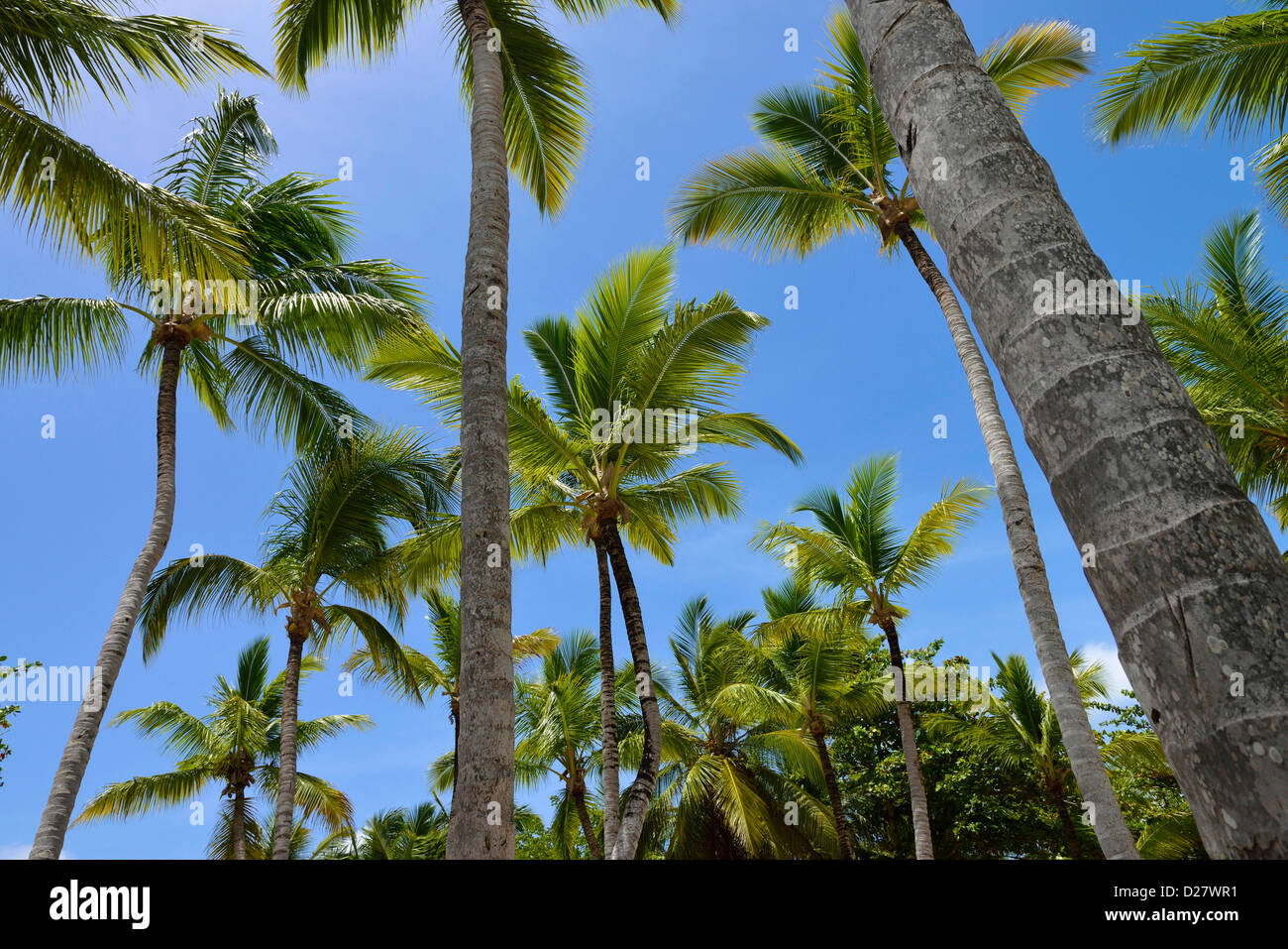 Palm trees at Punta Cana, Dominican Republic - Stock Image